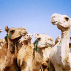 Birqash Camel Market: A Souq since the days of Ibn Khaldun