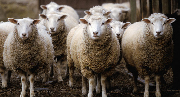 How to Buy Sheep for Eid El Adha: The Cairo 360 Guide