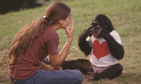 مشروع نيم: فيلم وثائقى جذاب عن شمبانزي تربى كالإنسان
